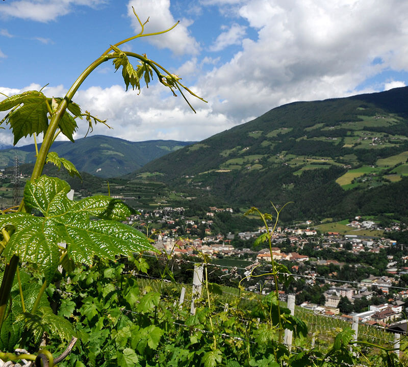 View over the vineyards to Brixen